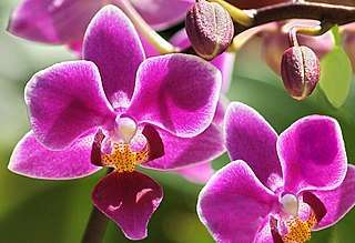 orchids are the queen of cut flowers