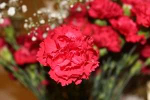 carnations as cut flowers