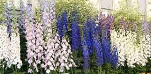 multi colored delphinium